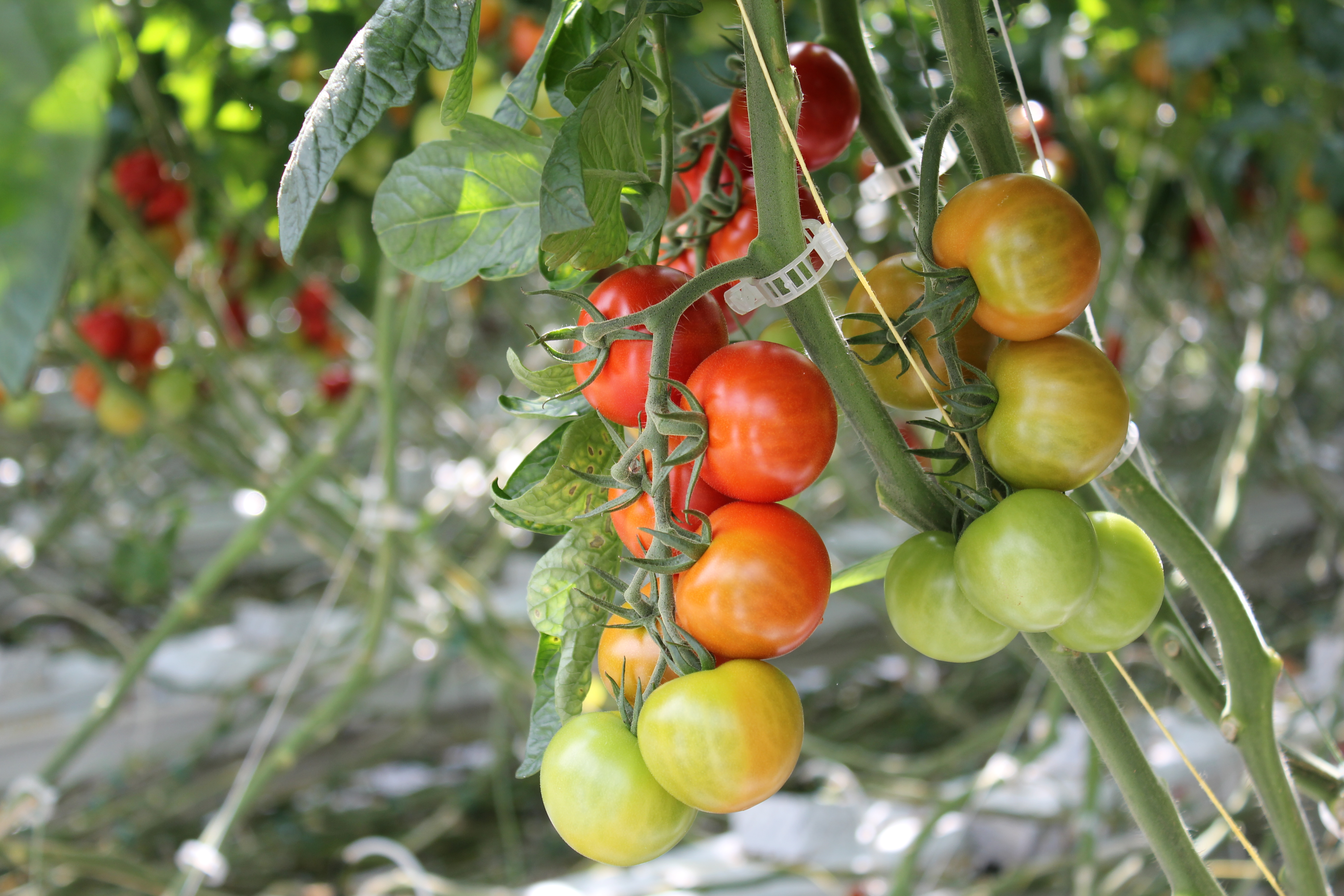 Village Farms Tomatoes